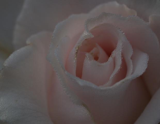 Rose, hybrid Margaret Merril, Barongarook West, Victoria, Australia