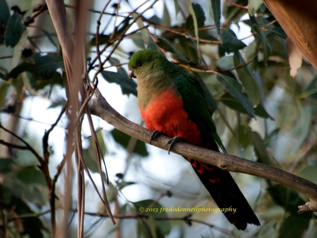 Female Australian King Parrot - Immature juvenile will look similar