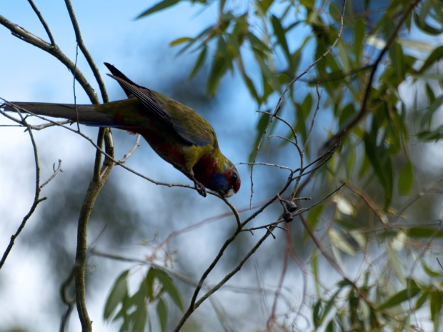 Juvenile Crimson Rosella - Getting closer
