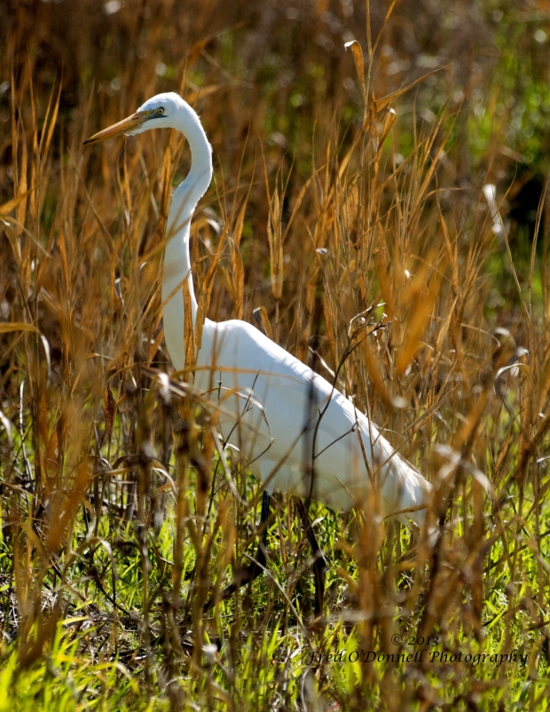 Non-Breeding Great Egret