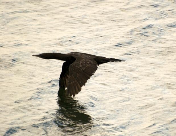 Little Black Cormorant (Phalacrocorax sulcirostris) - off to a better spot