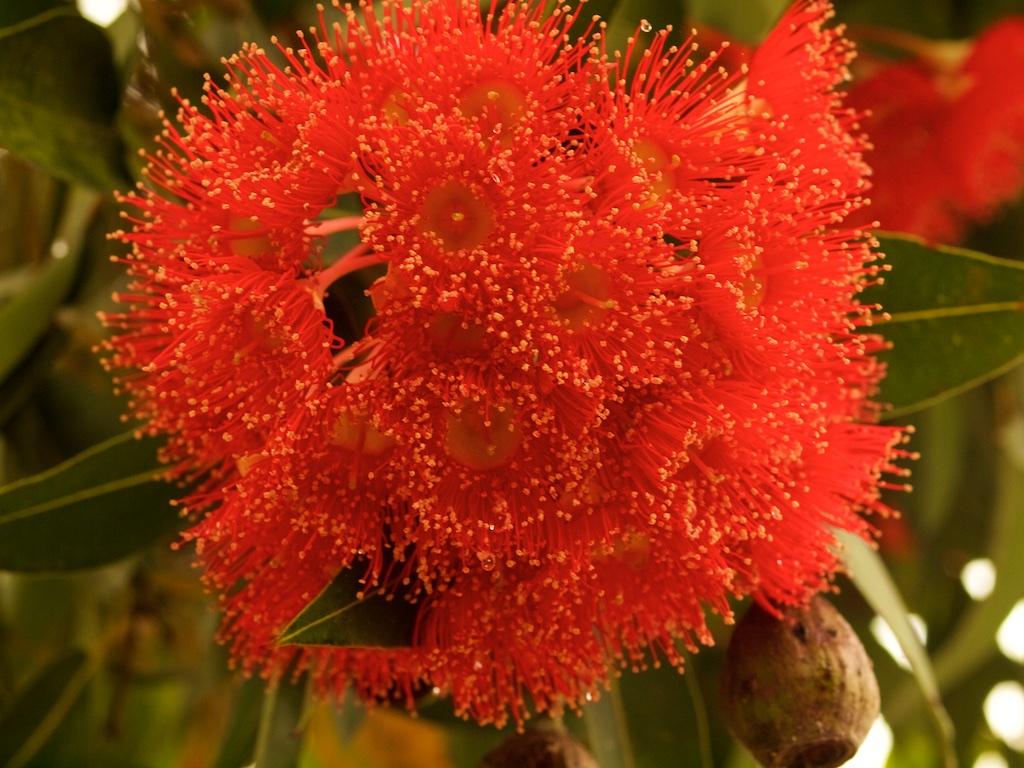 Red Flowering Eucalyptus Tree